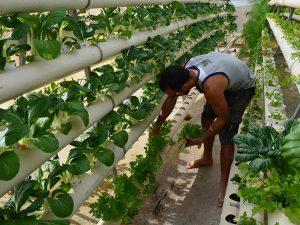 חקלאי מקומי קוטף תוצרת הידרופונית ממערכת גידול ורטיקלית