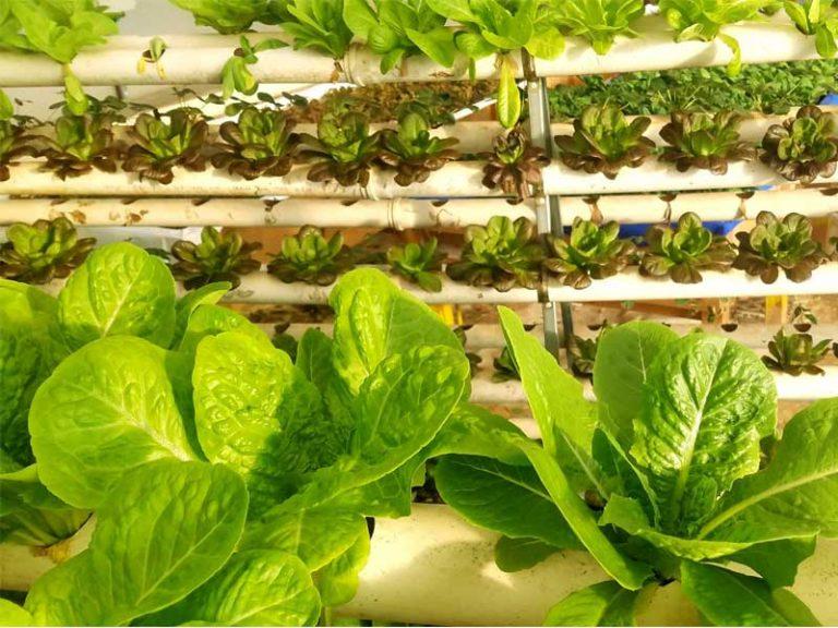 חווה הידרופונית ורטיקלית לגידול חסות