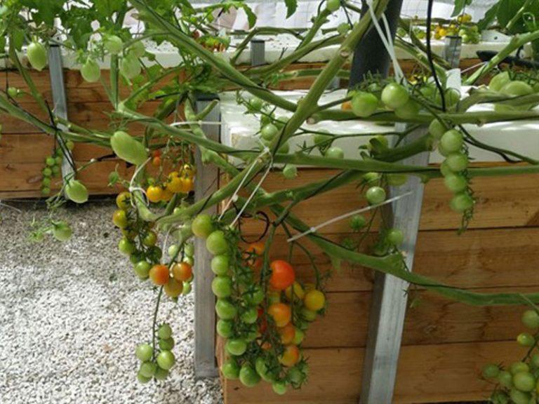 גידול עגבניות שרי בהידרופוניקה