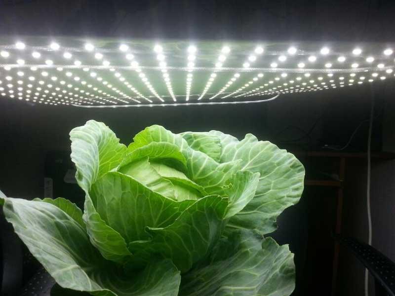 גידול כרוב בתאורה מלאכותית
