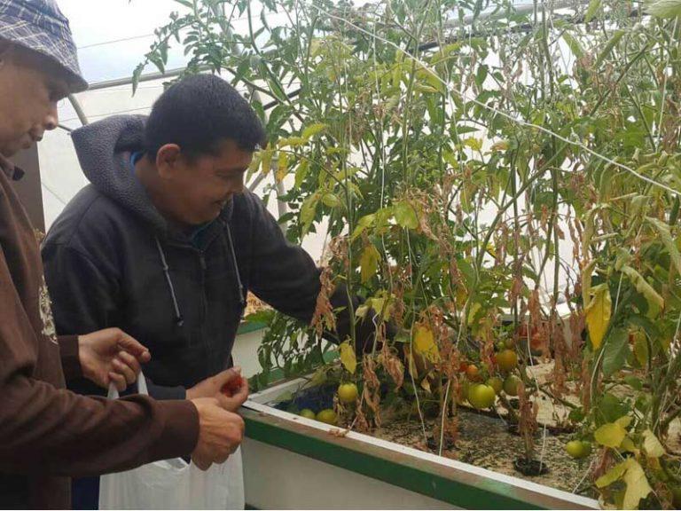 שני גברים קוטפים עגבניות הידרופונית