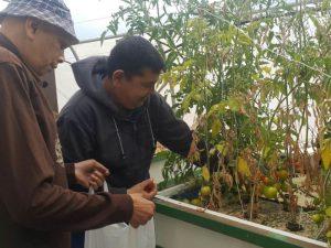 קטיפת עגבניות הידרופוניות במרכז תעסוקה שיקומי