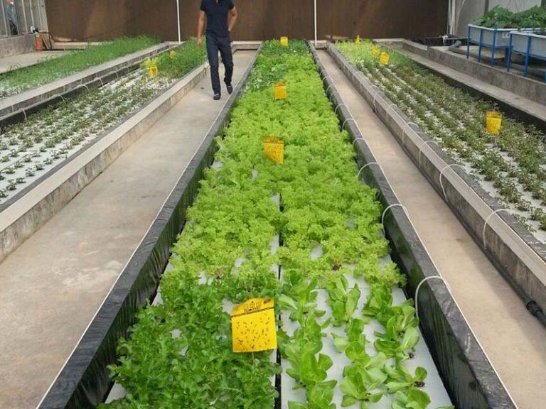 גידול עלי מאכל ירוקים בשיטת רפסודות צפות