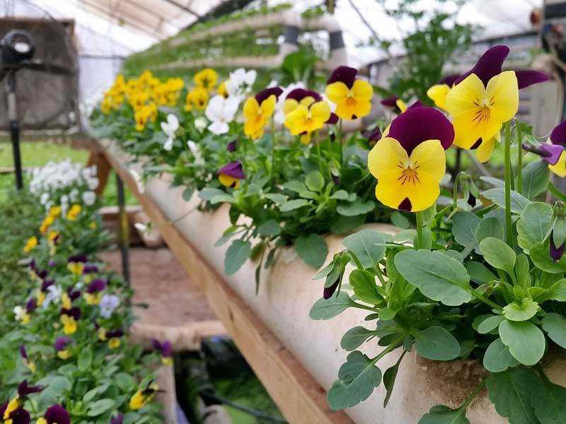 Hydroponic-edible-flowers--Green-in-the-village