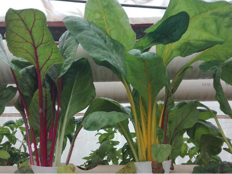 Hydroponic-leafy-greens--LivinGreen