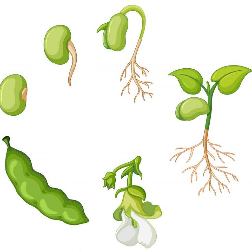איור של מחזור החיים בצמחים