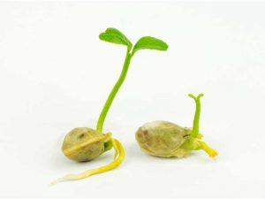 נביטת זרעים