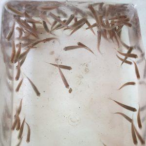 """דגי גרא רופה (עגלסת הנחלים) – מינ' 100 דגים * 4 ש""""ח לדג"""