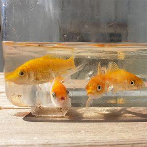 """דגי קוי – מינ' 20 דגים * 8 ש""""ח לדג"""