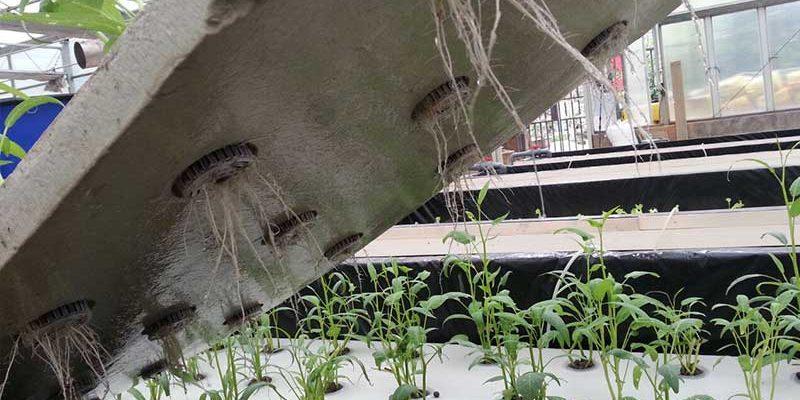 שורשי הצמחים בגידול בשיטת רפסודות צפות