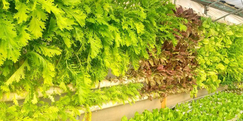 גידול ורטיקלי בחוות ירוק בכפר