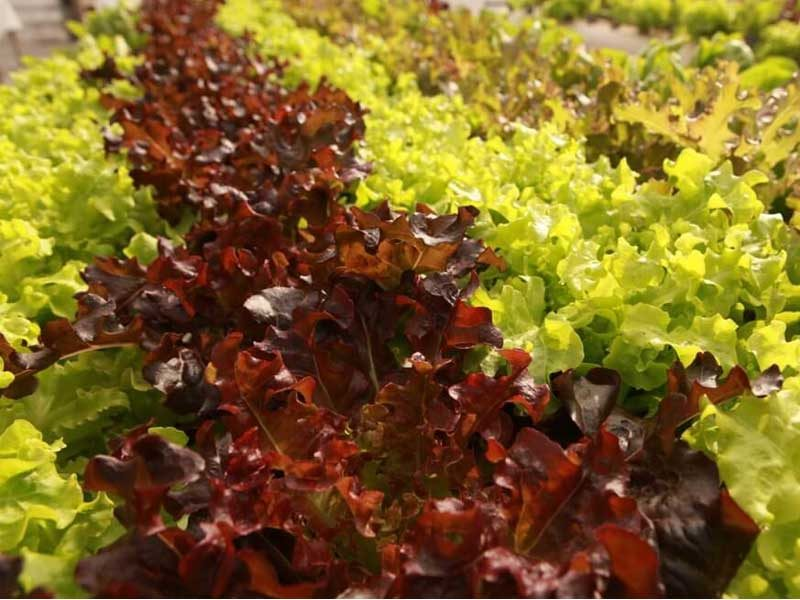 Commercial-hydroponics-lettuce-mixture-LivinGreen