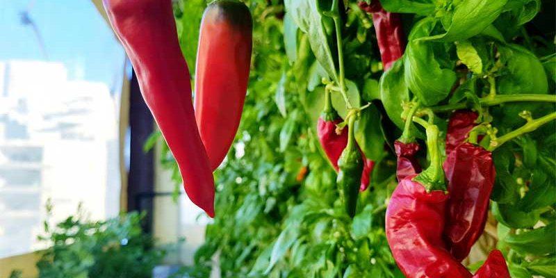 גידול פלפלים אדומים במרפסת