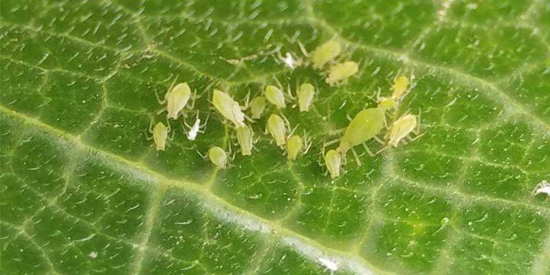 Pest-control-in-Hydroponics